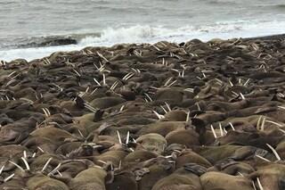 Mille trichechi hanno invaso una spiaggia in Alaska e nessuno sa perché