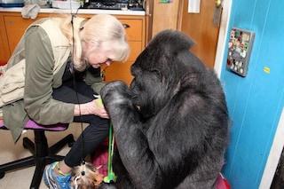 È morta Koko, la celebre gorilla che parlava con il linguaggio dei segni e amava i gatti