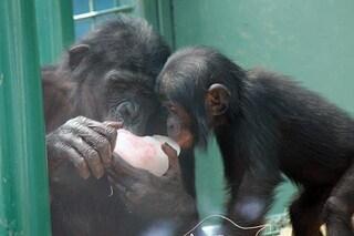 Le giovani bonobo innamorate dei piccoli: li cullano e coccolano per imparare a fare le mamme