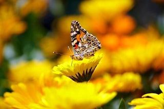 Perché la farfalle hanno ali colorate e disegnate