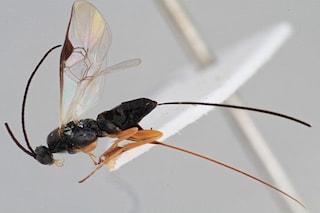 La vespa di 'Alien' esiste davvero, inietta le sue uova in bruchi destinati a morte atroce