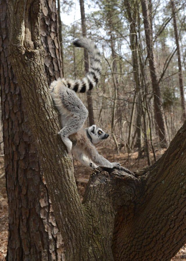 Credit: David Haring, Duke Lemur Center.