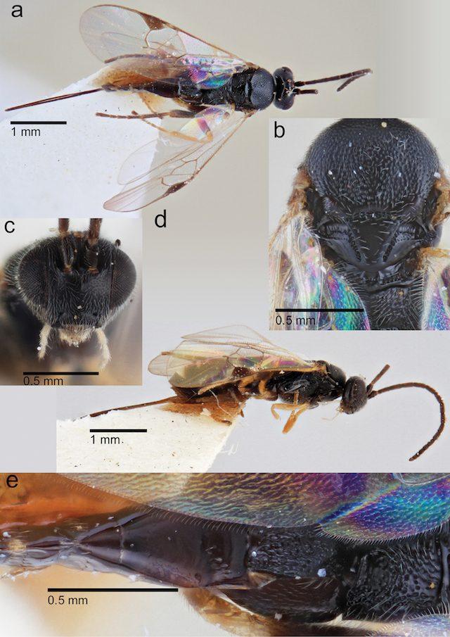 Dolichogenidea mediocaudata
