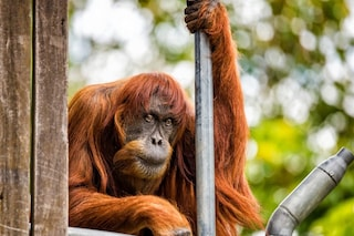 È morta Puan, l'orango più vecchio del mondo: 62 anni di cui 50 in uno zoo