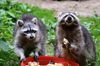 Gli animali selvatici più astuti si adattano meglio a vivere in città, ma rischiano la vita