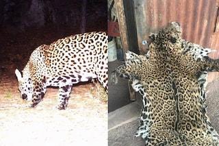 Il giaguaro Yo'oko ucciso e spellato dai bracconieri: era il penultimo degli Stati Uniti