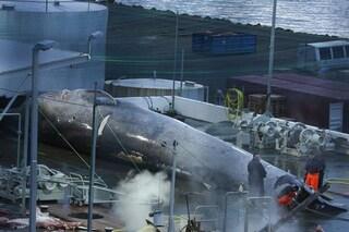 Abbiamo massacrato una delle ultime balenottere azzurre per farne carne in scatola: islandesi senza pietà