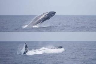 È molto raro vedere questa balenottera saltare: nel Mediterraneo l'evento straordinario