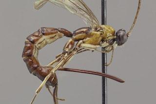 La 'nuova' vespa Clistopyga crassicaudata ha un mega pungiglione che paralizza le sue vittime