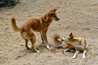 I dingo modificano i paesaggi australiani: tra dune e arbusti, come cambia il territorio