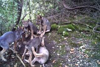 Sei cuccioli di lupo nati in Friuli Venezia Giulia: non accadeva da quasi un secolo