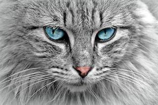 Gatti geneticamente modificati per persone allergiche: la nuova frontiera della scienza
