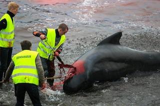 26 balene pilota massacrate a coltellate e uncinate alle Faroe nella nuova 'spiaggia della morte'