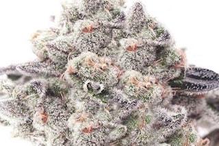 Gorilla Glue, la super cannabis con THC elevatissimo che 'stende' chi la fuma