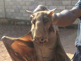 Avvistato il leggendario demone del Jersey, ma la foto è di un pipistrello africano