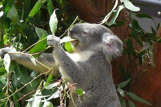 Sequenziato tutto il DNA del koala: scoperto come fa a mangiare così tanto eucalipto senza morire