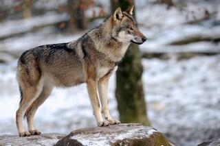 Il lupo di Chernobyl contaminato si è spostato dalla zona di alienazione: rischio geni mutanti