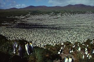 Sterminata la più grande colonia del mondo di Pinguini Reali: il 90% di loro è scomparso
