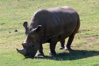 L'Italia lotta per salvare il rinoceronte bianco: creati i primi embrioni in provetta