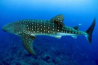 Svelato il 'profondo' segreto dello squalo balena, il pesce più grande del mare