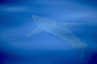 Uno squalo bianco nel Mar Mediterraneo, il primo in 30 anni: è lungo 5 metri, ecco le immagini