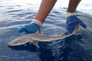 C'è un nuovo squalo: lo spinarolo di Genie, in memoria della 'mamma' dei biologi marini