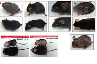 Invertire gli effetti dell'invecchiamento è possibile? Questi topi sono tornati 'giovani'