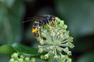 La puntura di vespa velutina può uccidere un uomo: dove si trova in Italia e come riconoscerla