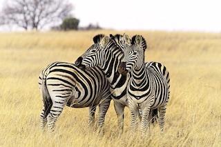 Sfatato il mito delle strisce bianche e nere delle zebre