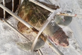 Morta intrappolata in uno sgabello la tartaruga marina più rara del mondo: una fine atroce