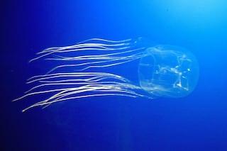 Box jellyfish o Cubozoa: la medusa più velenosa del mondo che ha ucciso una bimba italiana