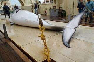 Caccia alle balene, il Giappone massacrerà cetacei per scopi commerciali da luglio 2019