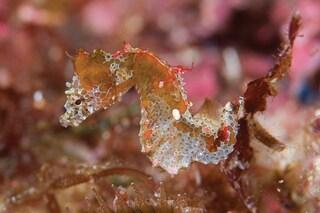Hippocampus japapigu: coloratissimo e minuscolo, chi è il nuovo cavalluccio marino pigmeo