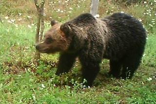 L'orsa Peppina colpisce ancora: organizzato con i cuccioli un 'raid' in un pollaio