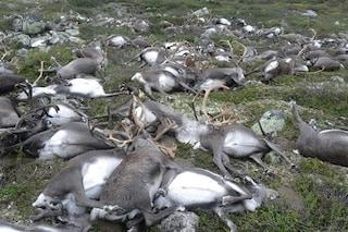 Queste 323 renne uccise da una tempesta di fulmini hanno cambiato un ecosistema norvegese