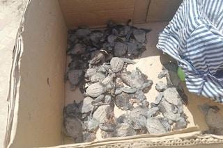 Decine di tartarughe marine neonate schiacciate dalle auto in Puglia. Tradite dai lampioni