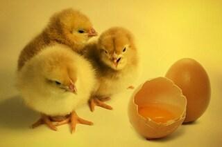 È nato prima l'uovo o gallina? La risposta grazie ad un esperimento affascinante
