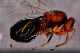 La vite dell'amore 'Horror' si nutre delle vespe parassite e le trasforma in mummie
