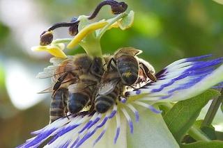 Le api comprendono la matematica e sanno fare addizioni e sottrazioni