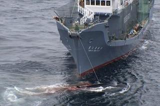 Giapponesi uccidono 50 balene in un'area marina protetta con la scusa degli scopi scientifici