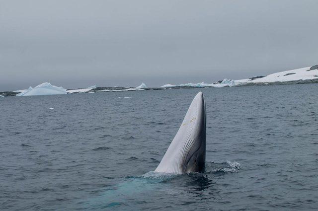 Una balenottera minore antartica Credit: OneOcean Expeditions
