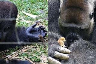 Il gigante gentile Bobo e il galagone: l'amicizia del gorilla orfano commuove tutti