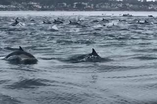 La caccia del super branco di delfini è ipnotizzante: le immagini spettacolari