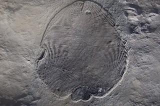 La Dickinsonia è il più antico animale conosciuto: ha 558 milioni di anni. Scoperta storica