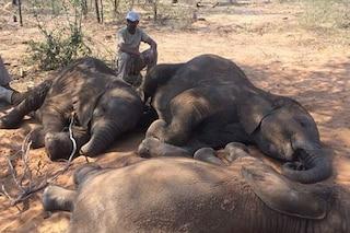 Strage di elefanti in Botswana: bracconieri massacrano 87 esemplari per l'avorio