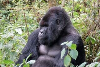 I gorilla sono così ghiotti di cibo salato che rischiano la vita pur di mangiarlo