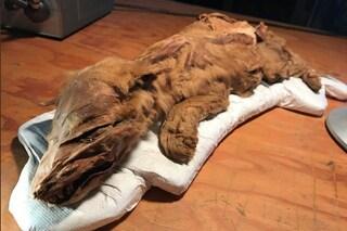 Fossile di cucciolo di lupo glaciale emerge dal permafrost: ha ancora peli, pelle e muscoli