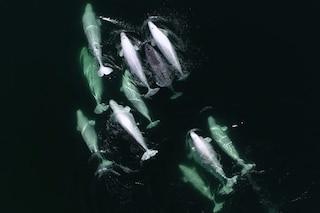 Un narvalo solo e disperso nell'oceano adottato da branco di beluga: il video straordinario