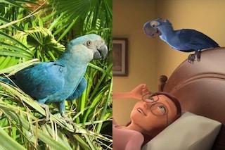 Estinto il pappagallo di Rio, 'Blu' resterà solo un ricordo: è scomparso per colpa nostra