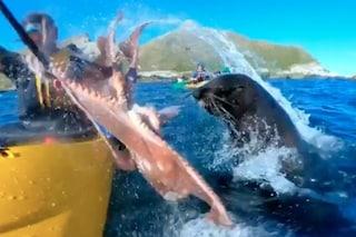La foca schiaffeggia con un polpo un uomo in kayak: il geniale video dell'attacco